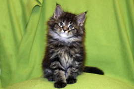 Maine-Coon Ejudy