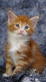 Maine-Coon Drawen