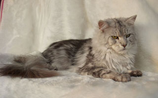 Maine-Coon_james