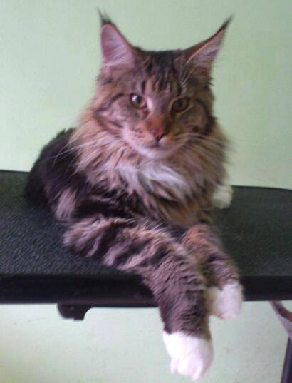 Maine-Coon_Mike