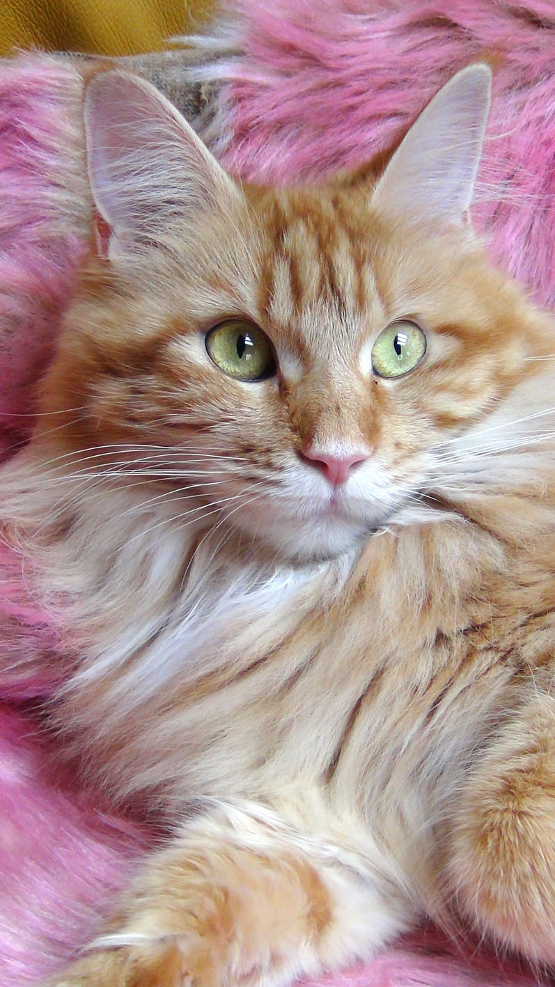 Red Hot Chili kennel - Maine Coon macska tenyészet